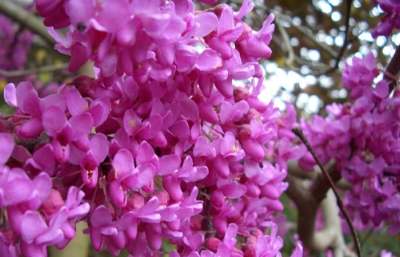 Redbud Flowers in Springtime