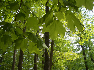 Sugar Maple leaves in summer