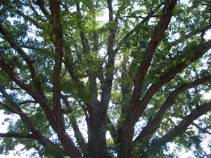White Oak is less susceptible to Oak Wilt than Red Oak