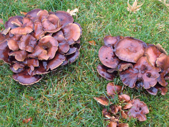 lawn-mushrooms-2.jpg