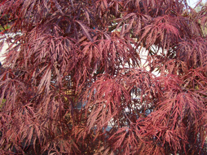 Cutleaf Japanese Maple