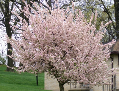 Flowering crabapple trees should be at the top of everyones pink crabappleg mightylinksfo