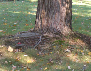 Surface roots are common on Silver Maples. Some may become girdling roots like the root crossing over seen above.