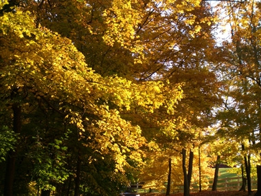The bright fall color of Maple leaves