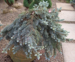 PICEA pungens glauca 'Procumbens' - Weeping Blue SpruceExcellent silver blue color and weeping form. Remains low and spreading without staking. Displays best when planted so it can weep over a wall.