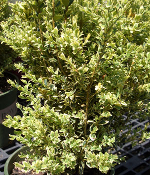 BUXUS sempervirens 'Variegata' - Variegated English BoxwoodGrow in partial to full sun. Slow growth to 8 ft. tall x 8 ft. wide. Often used as a hedge plant.