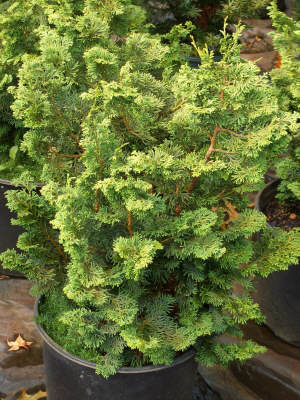 CHAMAECYPARIS obtusa 'Compacta' - Compact Hinoki CypressSlow, compact growth to 6 ft tall x 3 ft wide. Sun to partial shade. Interesting foliage.