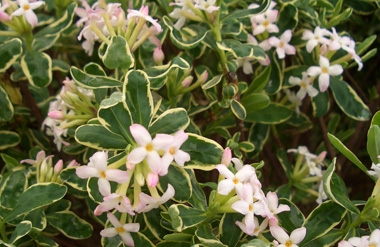 DAPHNE burkwoodii 'Carol Mackie' - Carol Mackie DaphneSlow growing semi-evergreen with pale pink fragrant blossoms. Best in rich, well drained soils in partial shade with adequate moisture. Leaves have a yellow margin becoming creamy white. 3 ft tall x 4 ft wide. Hardy in zones 5 to 8.