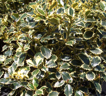 ILEX aquifolium 'Aurea Marginata' - Yellow Edged English HollyGrow in partial sun in an area with some protection from winter winds.