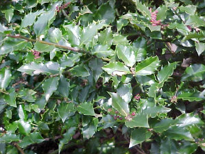 ILEX meserveae - Blue Princess HollyDense, dark blue-green, evergreen foliage makes this hardy holly very popular in the home landscape. Plants can reach 8 ft tall x 8 ft wide. Annual shearing will help shape plant. Females get the red berries late in the season if there is a male Holly in the vicinity.