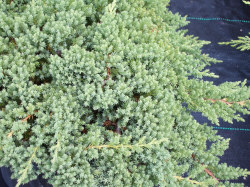 Japanese Garden Juniper - Juniperus procumbens 'Nana'Bluish-green foliage all year. Full sun, Growth to 12