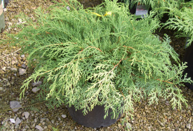 MICROBIOTA decussata - Russian ArborvitaeModerate growth to 18