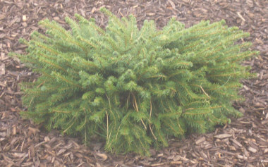 PICEA abies 'Nidiformis' - Bird's Nest SpruceDwarf spruce with compact growth makes it ideal for rock gardens and small spaces. Likes sun but tolerates some shade. 3 ft height x 5 ft spread.