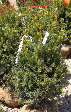TAXUS x media 'Hicksii' - Hicks YewColumnar evergreen with moderate growth to 15 ft tall x 5 ft wide. Can be used for evergreen hedges where deer aren't a problem.
