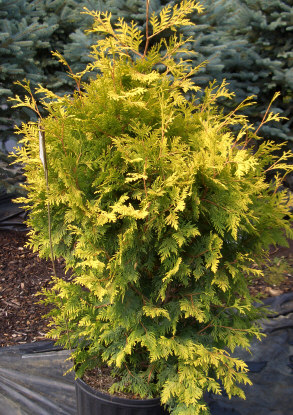 THUJA occidentalis 'Lutea' - George Peabody ArborvitaeModerate rate of pyramidal growth to 12 ft tall x 6 ft wide. Golden foliage creates a nice accent.