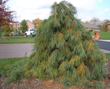 PINUS strobus 'Pendula' - Weeping White PineAn attractive evergreen specimen with an irregular shape. Moderate to fast growth. Height and spread to 20 ft.