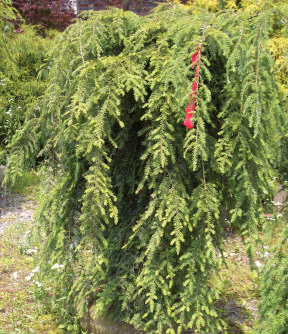 TSUGA canadensis pendula - Weeping Canadian Hemlockor Sargent HemlockLovely evergreen accent plant with a broad spreading form, usually twice as wide as it tall. Partial shade to sun.