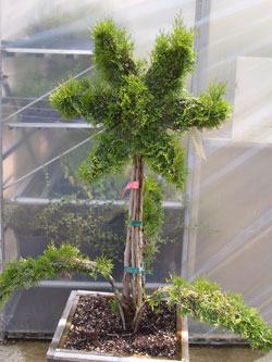 Arborvitae shaped like a Star -