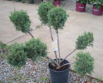 'Cloud' pruned Juniper - Pom-Pom Blue Juniper