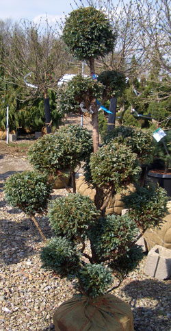 Upright 'Cloud' pruning on Juniper - Boulevard Pom-Pom