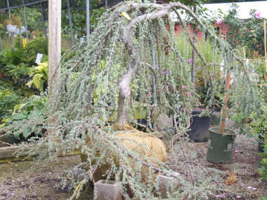 CEDRUS libani atlantica 'Glauca Pendula' - Twisted Weeping Blue Atlas CedarGrow in full sun. The twisted trunk and weeping foliage make these plants real attention-getters. Nice accent plant.