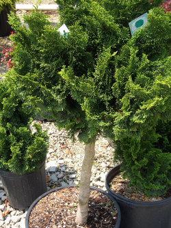 CHAMAECYPARIS obtusa 'Nana' Std. - Dwarf Hinoki Falsecypress on StandardSlow growing accent plant with interesting dark-green, fan shaped foliage, grafted onto a standard. Sun to partial shade.