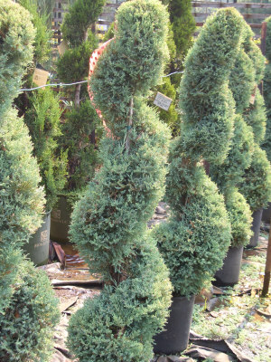 JUNIPERUS x pfitzeriana 'Glauca' - Blue Pfitzer Juniper (Spiral)Great topiary plant used widely; sheared into 'spiral' shapes in this photograph. Fast growth to 10 ft. tall x 10 ft. wide. Best when grown in full sun. Silver-blue foliage.