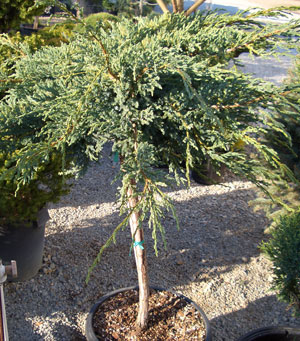 JUNIPERUS squamata 'Blue Carpet' - Blue Carpet Juniper on a StandardGrafted spreading evergreen with silver-blue colored foliage. Selectively prune branches for natural weeping effect. Prefers full sun.