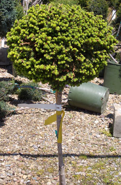 PICEA abies 'Lil Gem' - Little Gem Spruce on a StandardDense, globular, slow growing evergreen on a standard.
