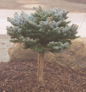 PICEA pungens glauca 'Globosa' - Globe Blue SpruceSlow to moderate growth from this dwarf variety of Blue Spruce. Grafted on a 'standard' it has an ornamental lollipop look and serves well as a specimen plant. Maintains its shape well on its own, or it can be sheared for a uniform appearance.