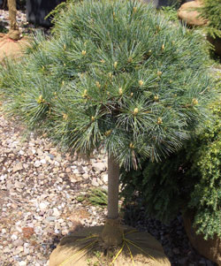 PINUS strobus 'Nana'  - Dwarf White Pine on StandardCompact, dwarf evergreen with natural globular form. Long, soft blue-green needles. Slow growth to 6 ft x 6 ft.