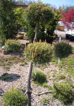 PINUS sylvestris Pom Pom  - Pom Pom Scotch PineEvergreen accent plant hardy to Zone 3. Shear annually to maintain shape. Growth to 15 ft tall x 10 feet wide. Grow in full sun.