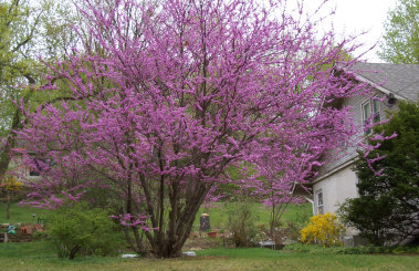 Photographs Of Flowering Trees Such As Flowering Crabapples