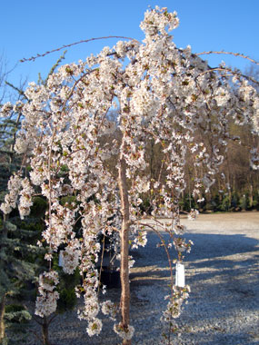PRUNUS x 'Snofozam' - Snow Fountains® CherryCascading branches with white flowers in spring. The trunk of the tree in the top photo has been