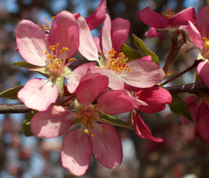'Indian Summer' flowering crabapple -