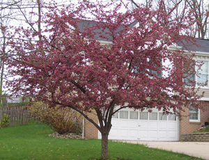 Flowering crabapple trees with photos of pink and white crabapples dark pink to red flowers on this crab are accented by bronze colored foliage mightylinksfo