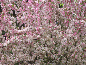 Flowering crabapple trees with photos of pink and white crabapples pink crabapple budsg mightylinksfo