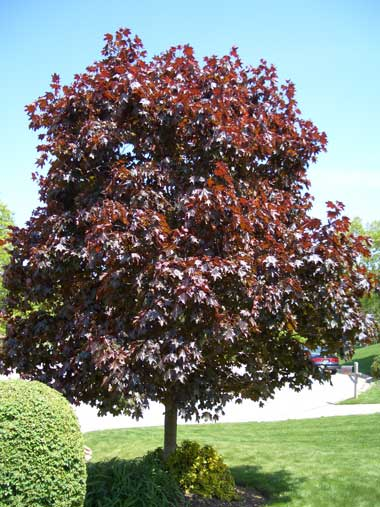 ACER platanoides 'Crimson King' - Crimson King MaplePopular for its season-long crimson foliage. Slow to moderate rate of growth to 45 feet tall and 35 feet wide. Narrow growing while young, the tree's crown broadens with age. Leaves will scorch under dry conditions.