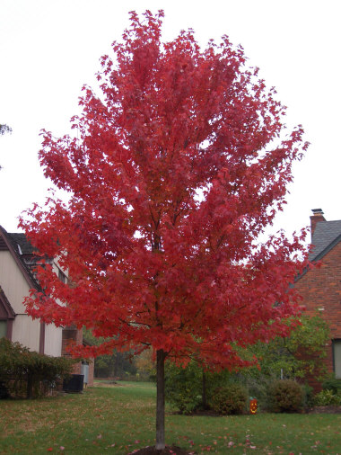 ACER rubrum 'Red Sunset' - Great lawn tree with an oval shape and silver bark. Fall foliage turns brilliant red to orange-red. Moderate to fast growth to 50 ft. height with 35 ft. width.