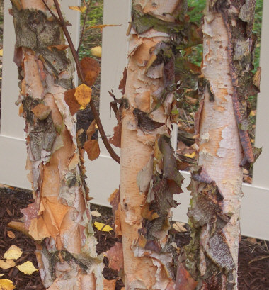 BETULA nigra - River BirchHardy variety of birch that is less prone to the insect problems of European White Birch. Exfoliating, colorful bark creates interest in the garden. Tolerant of alternating moisture conditions. Moderate to fast growth to 50 ft.