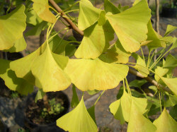 GINKGO biloba - Maidenhair TreeOldest tree on Earth, and the only tree without any insect or disease problems. Slow growth to 70 ft tall x 40 ft wide. Only the male is cultivated due the 'stinky cheese' smell of the female's fruit. Long-lived and very hardy tree with distinctive fan-shaped, fossil looking leaves. Bright yellow fall leaf color.