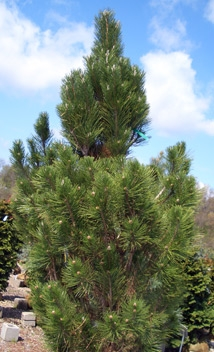 PINUS nigra 'Arnold's Sentinel' - Arnold's Sentinel Austrian PineNarrow, columnar, evergreen conifer with slow growth to 25 ft tall x 7 ft wide. Grow in full sun as a specimen or windbreak. Deer resistant and tolerates seashore conditions.