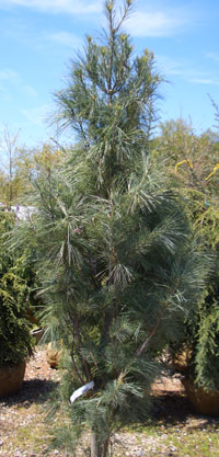 PINUS strobus 'Fastigiata' - Columnar White PineUpright, narrow form of White Pine with soft bluish-green evergreen foliage. Moderate rate of growth to 30 ft tall x 10 ft wide makes it a good choice for narrow screens.