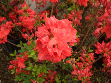 AZALEA 'Stewartsonian' - Stewartstown AzaleaWidely planted Gable azalea with brick-red flowers mid-spring. Wine-red colored winter foliage. Height to 6 feet.