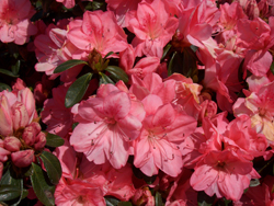 AZALEA 'Blaauw's Pink' - Mid-season bloom. Kurume azalea. Moderate growth to 4 ft tall x 5 ft wide. Best grown in partial shade with well drained, moist acidic soil high in organic matter.
