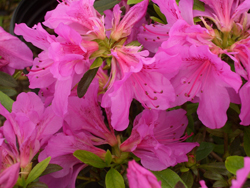 AZALEA 'Herbert' - Herbert AzaleaOne of the hardiest azaleas in the northern US bears purple flowers. Grows to 5 ft tall x 6 ft wide. Watch for lacebug insects by checking the bottom leaf surfaces for their presence.
