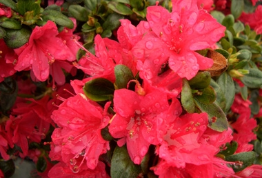 AZALEA 'Hino Crimson' - Hino Crimson AzaleaThis semi-evergreen Kurume hybrid azalea with crimson red blossoms prefers partial shade. Used for hedges, borders or in mass plantings. Slow growth to 4 ft tall x 5 ft wide. Hardiness zone 5 to 8.