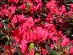 AZALEA 'Johanna' - Mid to late season bloom. Kaempferi azalea. Semi-evergreen. Moderate growth to 9 ft tall x 5 ft wide. Best grown in partial shade with well drained, moist acidic soil high in organic matter.
