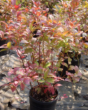 ITEA virginica 'Henry's Garnet' - Henry's Garnet Virginia SweetspireGrow in sun or shade. Moderate growth to 6 ft tall x 8 ft wide. White flower panicles in summer followed by red, orange and purple fall foliage. Multi-stemmed semi-evergreen that prefers moist soil.