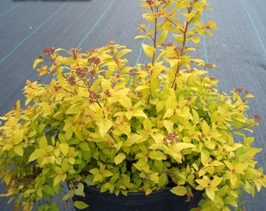 SPIRAEA x 'Goldmound' - Goldmound SpireaPink flowers in summer. Yellow foliage. Moderate to fast growth to 2 ft tall x 4 ft across. Watch for aphids.